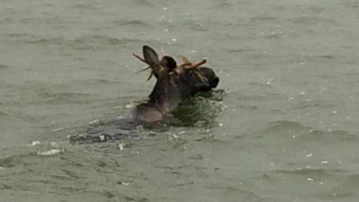 Schwimmender Elch erhält polizeilichen Geleitschutz