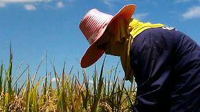 Reisbäuerin auf ihrem Feld in der thailändischen Provinz Ayutthaya.
