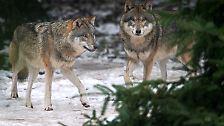 """Den Wolf nicht zum Problemtier zu machen, forderte Mitte Februar eine Fachtagung des Bundesumweltministeriums. Titel der Veranstaltung: """"Wer hat Angst vorm bösen Wolf?"""""""