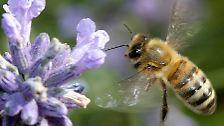 Die fleißigen Insekten, die wie die Ameise und die Wespe zu der Familie der Hautflügler gehören, waren einfach weg.