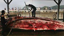 Umstrittene Praxis: Blutiger Walfang