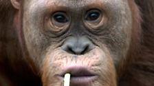 Orang-Utans sind auch nur Menschen. Waldmenschen nämlich. Nichts anderes bedeutet ihr Name übersetzt.