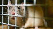 Weltweit gefürchtet und bekämpft: Die Ratte