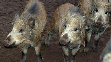 Mit Kartoffelschalen und Brotresten füttert man vor allem Wildschweine.
