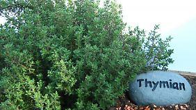 Der unscheinbare Thymian ist ein Tausendsassa.