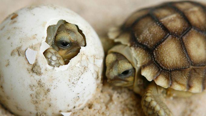 Schildkröten gehören zu den bedrohtesten Reptilienarten.