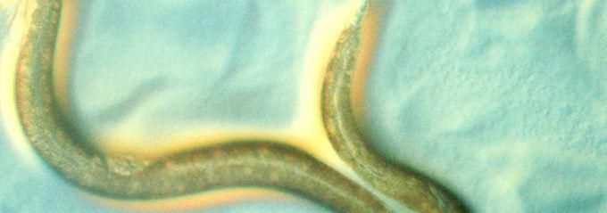 Die Fadenwurm-Art Caenorhabditis elegans steht im Mittelpunkt der Untersuchungen.