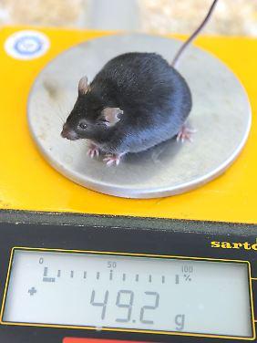 49,2 Gramm: Eine dicke Maus mit einem Gewicht wird bei einer wissenschaftlichen Untersuchung zur Fettleibigkeit gewogen.