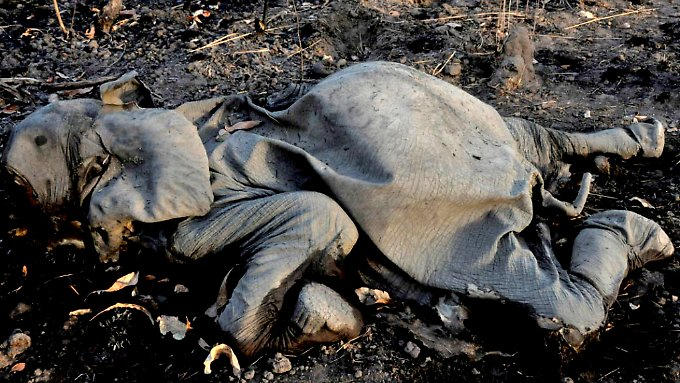 Ursache für die Wilderei in Afrika ist die hohe Nachfrage nach Elfenbeinschnitzereien in Asien.