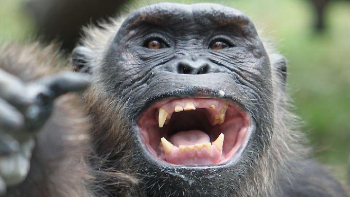 Über die Hälfte der gestohlenen Affen sind Schimpansen.