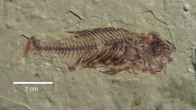 Kleine Fische, große Erkenntnisse: Im Rift Valley stießen Forscher an acht Fundstätten auf fast 170 Fossilien.