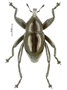 """Der Käfer Trigonopterus moreaorum, dessen Bezeichnung auf dem Familiennamen """"Morea"""" beruht."""