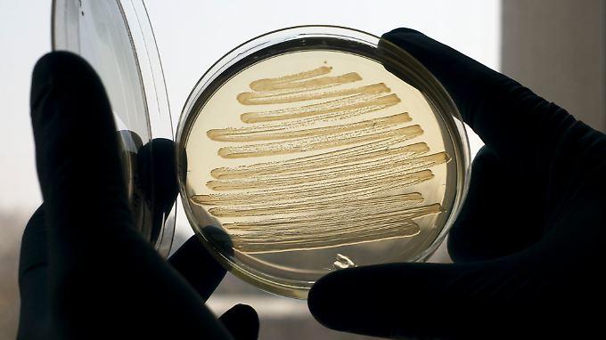 Bakterien in einerPetri-Schale: Britische Forscher zeigten in Laborversuchen, dass gentechnisch veränderte Darmbakterien Dieselkraftstoff herstellen können.
