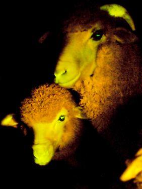 Der Leuchteffekt könnte nachtblinden Hirten helfen.