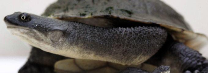 Auch die Schlangenhalsschildkröte gehört zu den gefährdeten Arten.