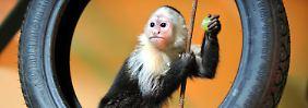 """Neue Bleibe für Biebers Affe: """"Mally"""" ist jetzt ein Niedersachse"""