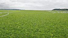 Viele Strände der Bretagne werden Jahr für Jahr von der Algenpest heimgesucht. (Archivbild)