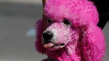Der bunte Hund: Das also war des Pudels Haartracht