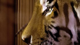 Dramatische Tigerattacke: Pfleger stirbt durch Genickbiss