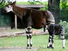 Das Okapi: Lange galt seine Existenz nicht für möglich, 1901 wurde es offiziell entdeckt.