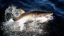 Atombombentest-Niederschlag in den Knochen: Weiße Haie werden mehr als 70 Jahre alt