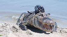 Angriff aus der Tiefe: Alligatoren-Kameras liefern neue Erkenntnisse