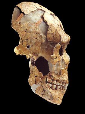 Schädel eines jüngeren Vertreters der Neandertaler, des Saint-Césaire, aus der französischen Region Charante-Maritime.