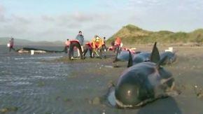 An Neuseelands Küste gestrandet: Helfer bringen Grindwale auf den richtigen Weg