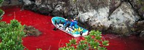 Massenabschlachtung in geheimer Bucht: Japan jagt wieder Delfine