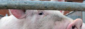 Die Sau ahnt nichts von der Gefahr: Am Leben der deutschen Schweinepopulation hängen wirtschaftliche Existenzen.