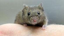 Kleines Tier auf großer Fahrt: die Maus eroberte per Schiff neue Lebensräume.