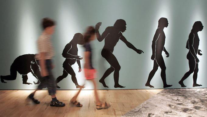 Plakatwand in einem Museum, die den Evolutionsverlauf zum Homo Sapiens beschreibt: Einer neuen Studie zufolge glauben nur 9,5 Prozent der US-Amerikaner an die Evolutionstheorie.
