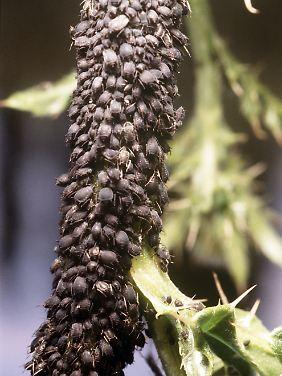 Eine Blattlauskolonie an einem Zweig.