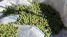 Viele Kilogramm Oliven müssen geerntet werden, um ein Liter Öl pressen zu können.