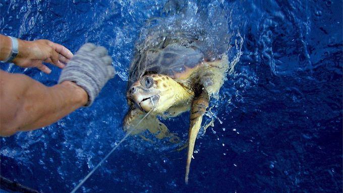 Eine Meeresschildkröte, die einen Köder an einer Langleine geschluckt hat, wird von einem Fischer an Bord gezogen:  Neben Delfinen und Albatrossen gehören diese Tiere zu den prominentesten Opfern als Beifang der Fischerei.