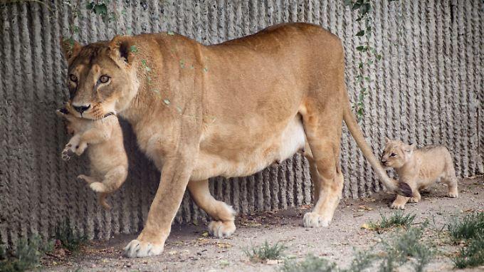 Nach Giraffe Marius: Kopenhagener Zoo tötet Löwen-Familie