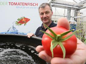 Werner Kloas in einem Forschungsgewächshaus des IGB mit einer hier gewachsenen Tomate.