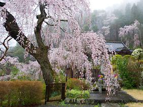Kirschbäume in voller Blüte auf dem Berg Minobu in Japan.