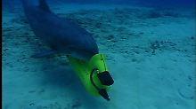 Er gehört zur Gruppe MK7: Ein Delfin der US-Marine sucht den Meeresgrund nach Minen ab. Tierschützer verurteilen solche Einsätze.