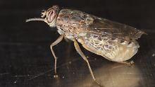 Insekt überträgt Schlafkrankheit: Erbgut der Tsetsefliege entschlüsselt
