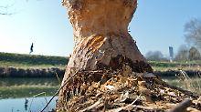Von Bibern zerfressen: Je wilder die Natur daherkommt, desto besser gefällt sie.