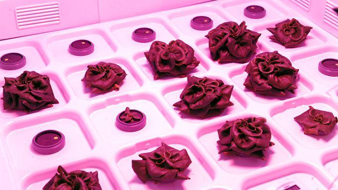 Salatköpfe, die bei pinkfarbener Beleuchtung im Zeltschrank eines sterilen Labors des Deutschen Zentrums für Luft- und Raumfahrt in Bremen für die Raumfahrt gezüchtet werden.