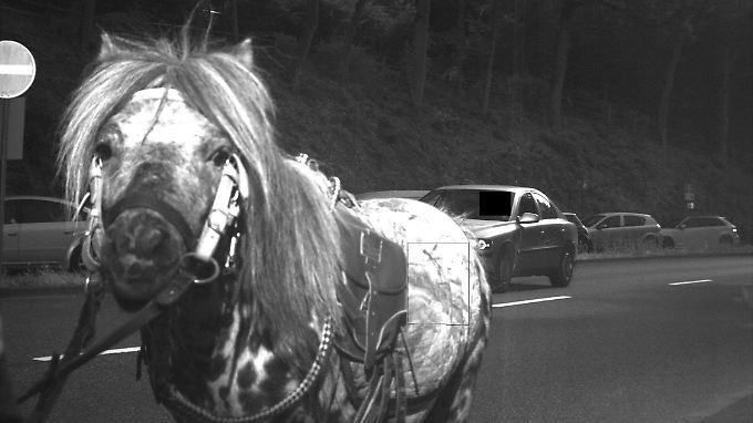 Dieser Autofahrer hatte nicht Schwein, sondern Pferd: Sein Kennzeichen ist nicht zu erkennen.