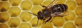 """Sammlerinnen haben es ruhiger: Bienen schlafen in """"Berufs-WGs"""""""