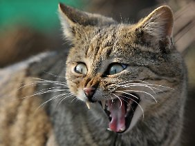 Wildkatzen sehen zwar unseren Hauskatzen recht ähnlich, sind aber keine Schmusetiere.