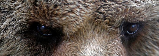 Pelzig, schwer und an der Börse gar nicht gern gesehen: Die Bärenstimmung im Dax scheint nicht so schnell verfliegen zu wollen.