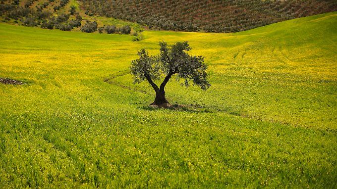 Ein einzelner Olivenbaum auf einem Feld in der Nähe von Malaga: In Spanien droht ein erheblicher Ernteeinbruch  der auch den Olivenölpreis deutlich nach oben schrauben könnte.
