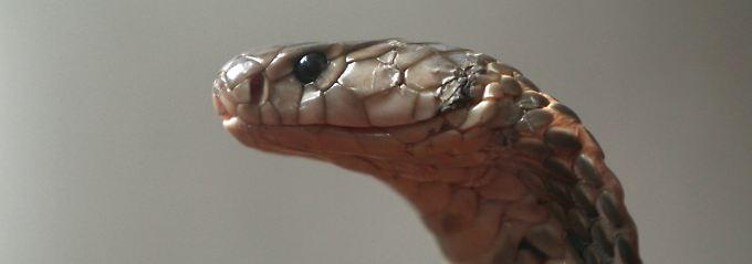 Kobras sind in Restaurants in Südostasien und China beliebte Spezialitäten.