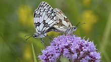 Schmetterlingsliebe auf wildem Majoran.