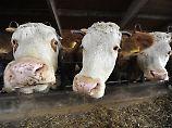 Die Genschere machts möglich: Tuberkulose-resistente Rinder geschaffen